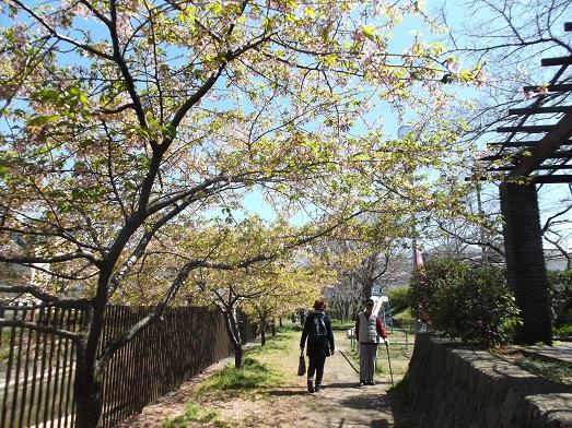 005-17桜.jpg